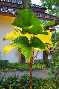 Die VANUATA-PALME, auch als große Strahlenpalme bekannt, sieht umwerfend aus.