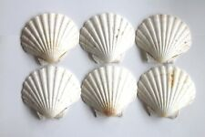 More details for scallop shells, large washed white natural uk scallop shell 11 - 13cm