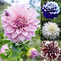 20pcs/bag Mix Dahlia Flower seeds Great Bonsai Plant Perennial Stunning Blooming