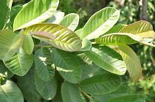 100X Stop Hair Loss Organic Garden Guava Leaves Fresh Green Cut Nature