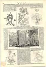 1846 Brasiliane Forest organo MONTAGNA INVERNO Divertimento Hemlock