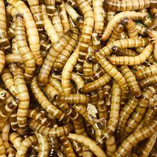 500g morio worms