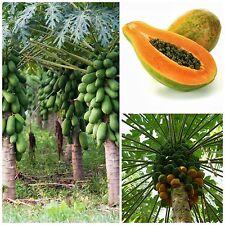 50 semi di Carica papaya, papaia, papaya, seeds