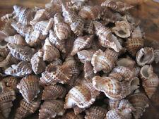 Bursa Bursa Seashells (15) - Shells - Seashell Supply - Craft Seashells -Coastal