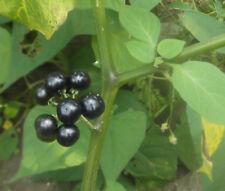 Solanum burbankii -Wonderberry- Edible fruit -- 10 seeds