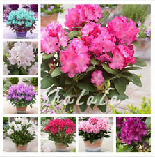 100 Pcs Seeds Japanese Azalea Bonsai Rhododendron Flowers Tree Plants Garden New
