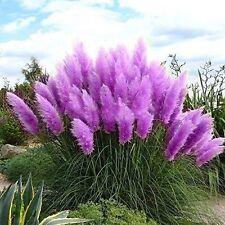 1000 * Purple Pampas Grass Seeds * Rare* Ornamental Grass Flowering Perennial