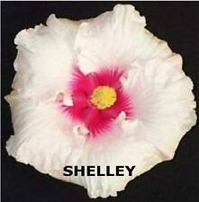 HIBISCUS PLANT X1 EXOTIC EVERGREEN TROPICAL FLOWER PLANTS SHELLEY