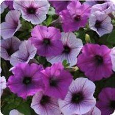 Petunia Easy Wave Fl Plum Pudding 10 Pelleted Seeds  Garden Seeds 2u