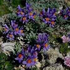Linaria- Alpina- 50 Seeds- BOGO 50% off SALE