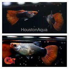 1 Trio - Black Koi Tuxedo - Live Aquatic Guppy Fish High Quality Top Grade A+++