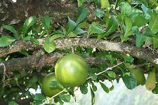 Crescentia Cujete - Calabash Tree - Rare Tropical Plant Tree Seeds (8)