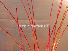 Rare Japanese maple cultivar 4yr 'Wildfire'