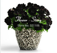 200 petunia seeds Black Velvet Petunia flower seeds