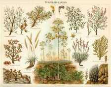 Steppenpflanzen Botanik LITHOGRAFIE von 1897