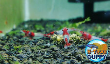10+1 Red Rili - Freshwater Neocaridina Aquarium Shrimp. Live Guarantee