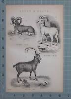 1880 Stampa Pecora & Capre Ovis Ammon Grande Clacson Ibex