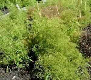 Teloxys Aristata Seeds 2,500+ Seafoam all scale 1:87 o model tree flower garden