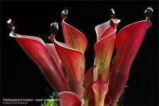 Heliamphora huberi - M. Stelmach clone - adult division