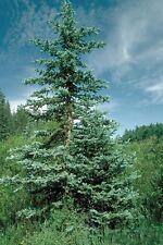 COLORADO BLUE SPRUCE -blue nondrop needles 50 seeds Beautiful  Trees