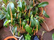 Pleurothallis truncata orchid, Rare orchids in pot blooming stage