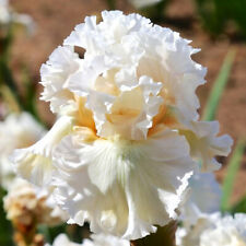 Fragrant 2 White Iris Balcony Cloud Ballet Large Bulb Bloom Stunning Plant Seeds