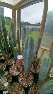 Echinopsis cactus L-Jack  Big Fat BLUE 12-inch tip cut
