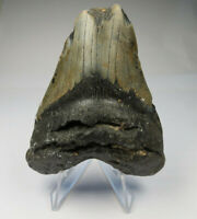 """Megalodon Shark Tooth Fossil, 3.40"""", No Restoration or repair, Giant tooth"""