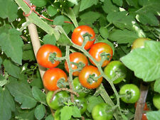 500 Large Red Cherry Tomato Seeds Heirloom - Gift - COMB S/H