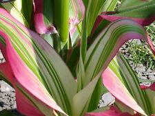 Zea mays Ornamental japonica STRIPED Variegated Corn CERTIFIED HEIRLOOM 25 Seeds