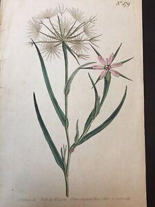 Antique Botanical Print William Curtis 1800 Original