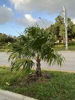 10 Florida Thatch Palm Seedlings Thrinax Radiata Beautiful Tropical Palm Tree