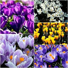 CROCUS BULBS | YELLOW| STRIPED| PURPLE| BLUE| WHITE & MIXED | IN THE GREEN
