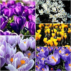 CROCUS BULBS Large Spring Flowering plants white blue purple yellow striped mix