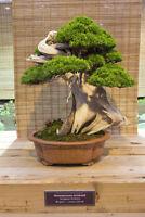 für drinnen und draußen der Wacholder - Bonsai Baum Winterhart !