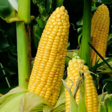 Honey Select Sweet Corn Seeds | USA Untreated Organic Non GMO Vegetable for 2021