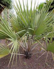 Hyphaene coriacea - Lala Palm - 3 Large  Seeds