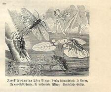 Stampa antica INSETTI Perla bicaudata INSECTA 1891 Old antique print