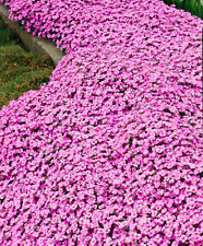 8 Arabis Spring Charm Large Plug Plants Pink Hardy perennial Rockery Rock cress