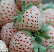 200 White Strawberry Seeds Fragaria Ananassa Organic Fruit Bulk Seed S006