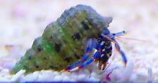 ''AQM'' CARIBBEAN BLUE LEG HERMIT CRAB,FISH, MARINE, Scarlet ,Emeralds ,crabs