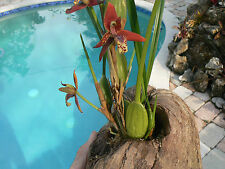 Orchid Maxillaria tenuifolia in coconut hanger Exotic Tropical Plants