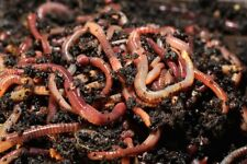 500 Red Wiggler Worms for Composting