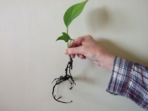 Epipremnum aureum-Golden Pothos (devil's ivy) - rooted house plant cutting.