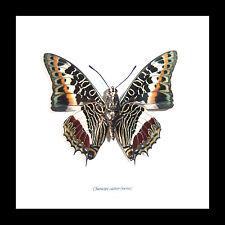 Real Butterfly taxidermy shadowbox Charaxes castor entomology specimen BBCCAV