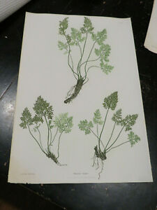 Ferns, Folio, The Ferns of Great Britain and Ireland. Nature-Printed.1855 # VIII
