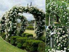 10 White Climbing Rose Seeds - Garden Flower Gift Wedding Vine Arch Entrance