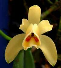 Cattleya luteola ('Gold Country' 4n x 'H&R' 4n) species Orchid Plant