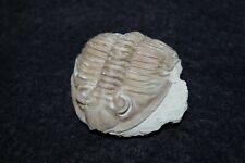 More details for devonian huntonia oklahomae trilobite fossil haragan oklahoma #1