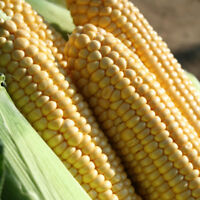 Vegetable - Sweet Corn - Earlibird - 50 Seeds